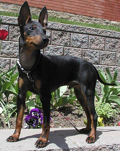 Фото собак пороба тортерер