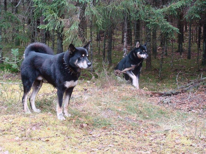 Восточно-сибирские лайки — незаменимые друзья