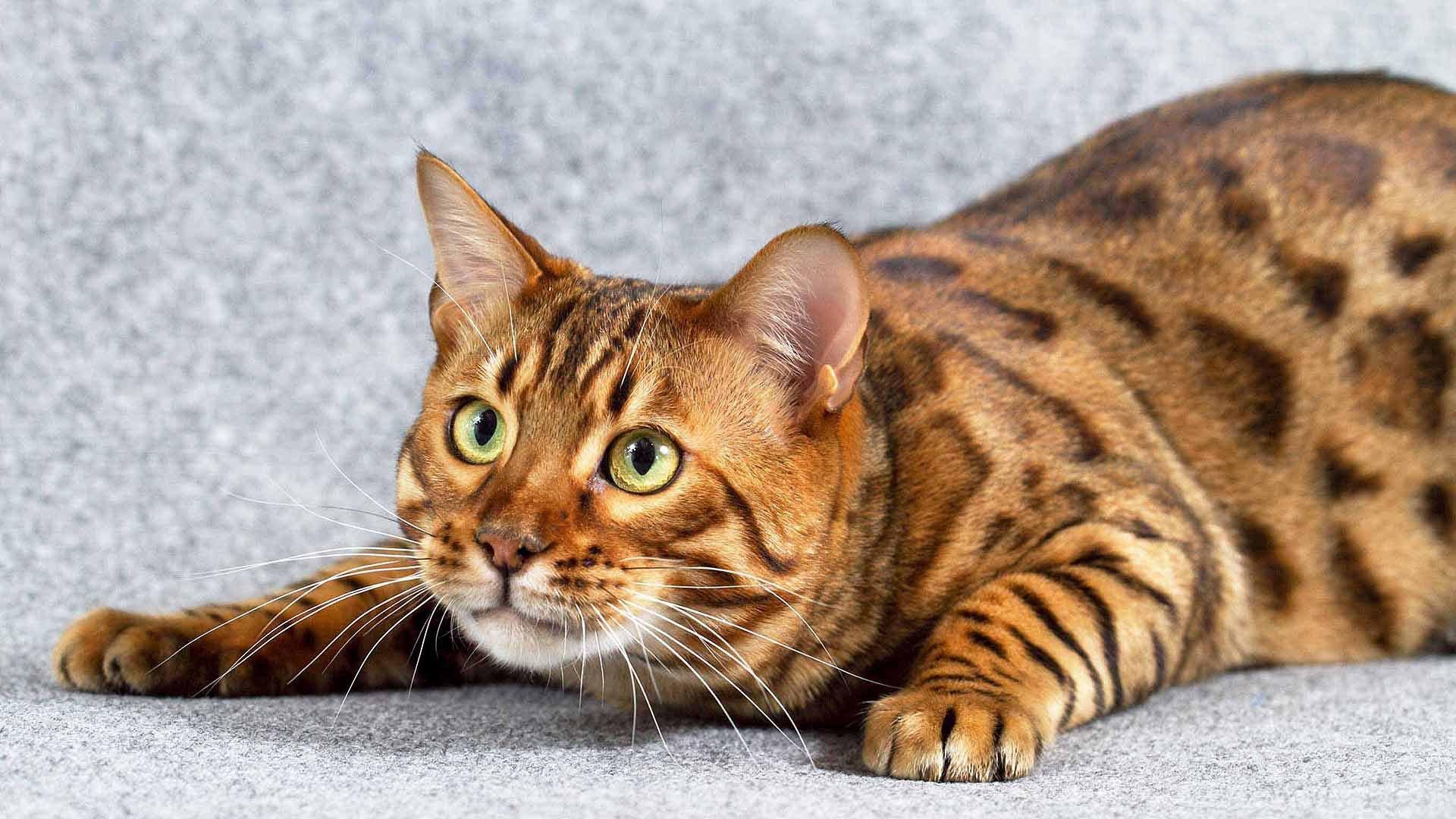 Бенгальская кошка кошки породи