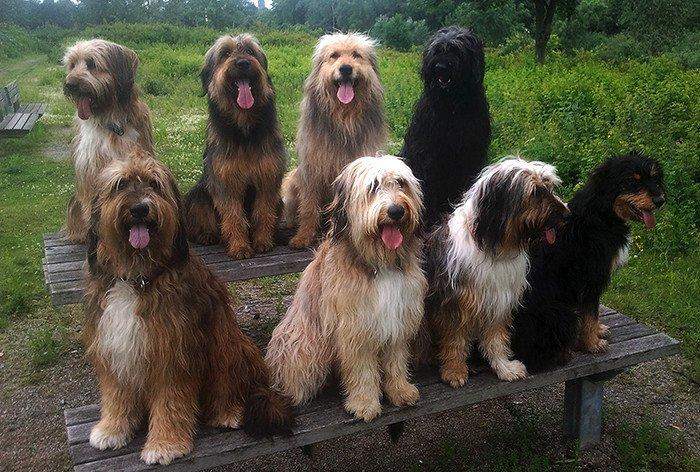 характер породы собаки веллер