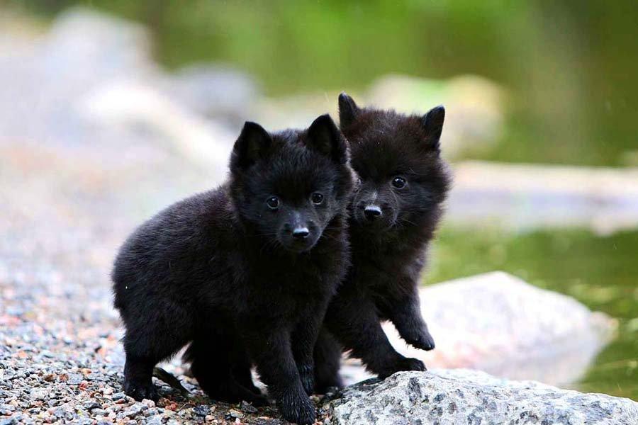 порода собаки шкипер